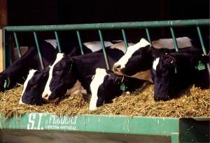 cows-526771_1280-300x204