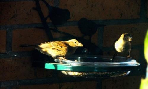 Un comedero en mi terraza de un 4º piso de Santander, un pequeño gesto para la conservación del ave del año. (Foto. Ignacio C. Fernández Calvo)